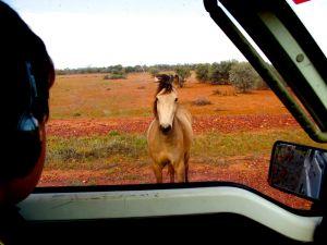Curious Horse near Quilpie.JPG