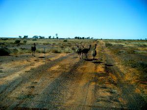 Emus Eromanga.JPG