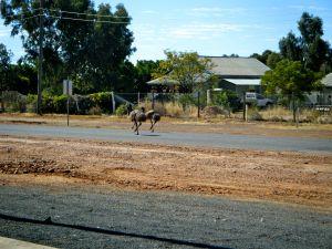 Eromanga street Emus.JPG